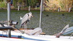 Grey heron standing on a boat in Japan Footage