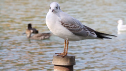 Black headed gull Footage