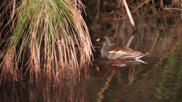 Moorhen sleeping Footage