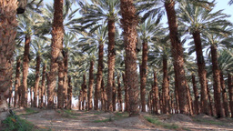Palm date grove Stock Video Footage