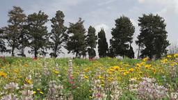 Lupin flower landscape Footage