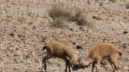 Nubian ibex juveniles fighting Footage