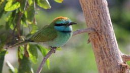 Little green bee eater Footage