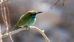 Little green bee eater bird Footage