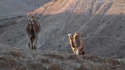 Camels walking Footage