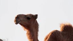 Camel walking Footage