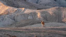 Camel walks in the desert Footage