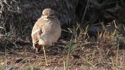 Stone Curlew bird Footage