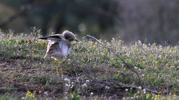 Stone Curlew bird in the land Footage