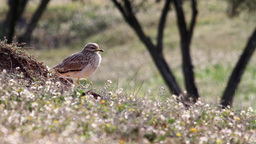 Stone Curlew bird standing Footage