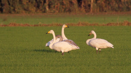 Whooper swans flock eating Footage