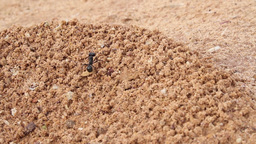 Ant climbs in the sand Footage