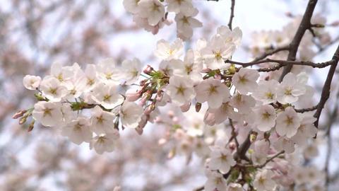 cherry blossom Archivo