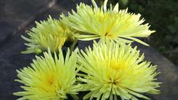 Beautiful yellow chrysanthemum flowers. Closeup shot of blooming yellow Footage