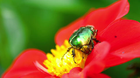 Cetonia Aurata on the Red Dahlia flower Footage