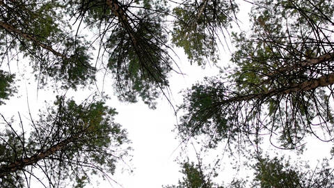 Low-angled tracking panorama of a canopy of tall verdant trees in a clean Image