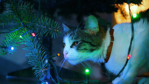Cute cat playing with ornament on Christmas tree Footage