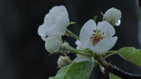 Wet Snow Falling On The Pear Tree Bloom Footage