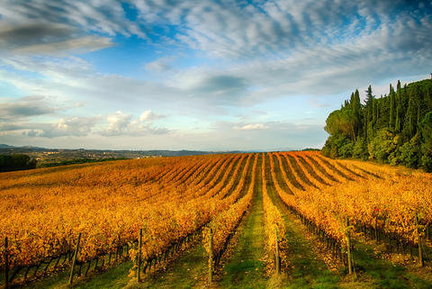 Autumn vineyards Foto