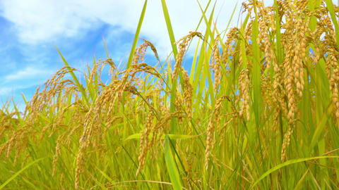 Rice fields with ripe golden ears ( slide video ) Bild