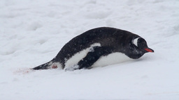 Penguin in the snow of Antarctica Footage