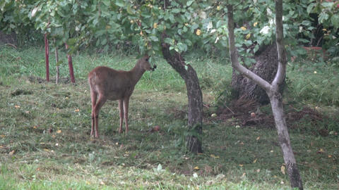 Mammal roe deer eating fresh apples in farm garden Footage