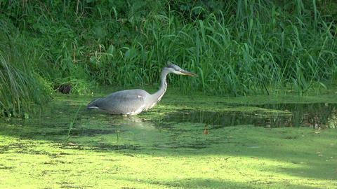 Grey heron Ardea cinerea patiently looking hunting fish in pond Footage