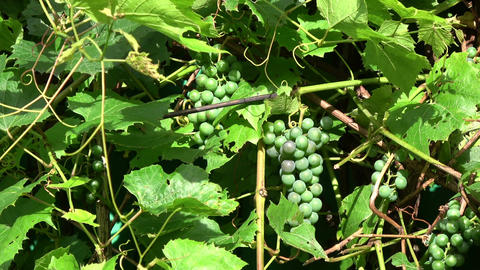 Unripe grapes clusters and leaves in summer wind Footage