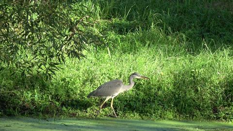Bird Grey heron walking on summer pond coast Footage
