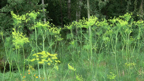 Vegetable dill background in wind Live Action
