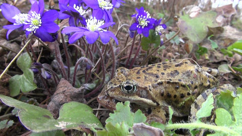 pair common frogs Rana temporaria near spring violet flowers Live Action