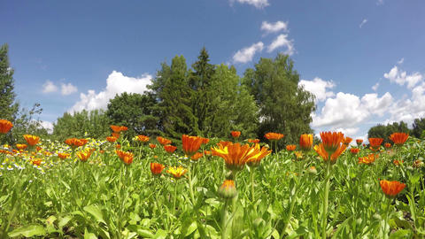 blossoming medical herbs marigold calendula in farm garden. time lapse Footage