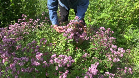 herbalist picking flowering fresh oregano in herb garden Live Action