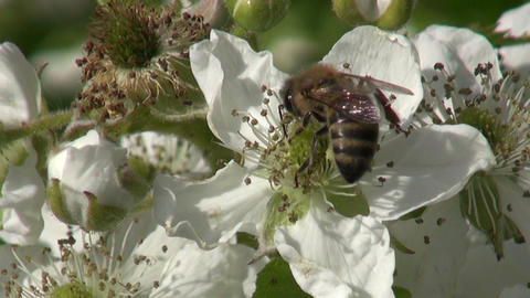 blackberry blossoms and summer honey bee collecting nectar Footage