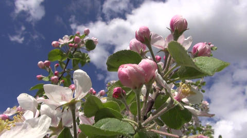fresh apple tree buds and blossoms in spring Footage