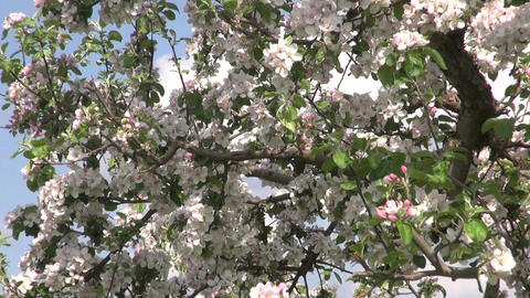 orchard garden with blossoming apple tree in spring Footage