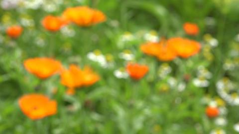 marigold calendula medical flowers in summer garden. Blur focus ビデオ