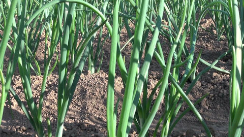 onion plantation in farm garden Footage