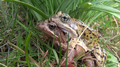 pair frogs on grass in spring time Footage