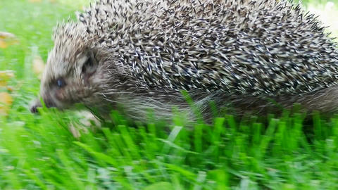 Hedgehog in Green Grass Goes or Crawls Footage
