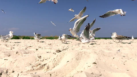 A flock of white gulls walks along the sandy seashore on a summer day Footage