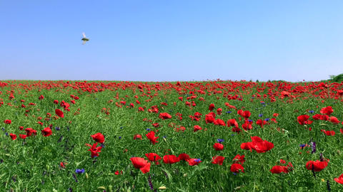 Field with flowering red poppies and green stems against a blue clear sky spring Footage