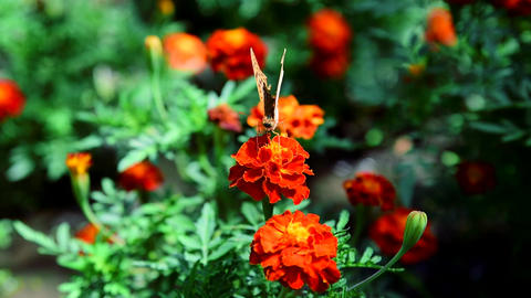 Butterfly collects nectar on a flowering marigold on a summer day ビデオ