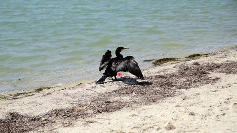Black cormorant stands on the sandy shore of the Black Sea Acción en vivo