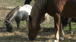 Group of horses eating hay. Horses eating hay on the farm Live Action