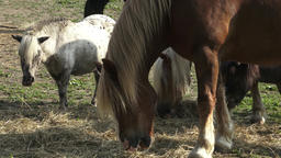 Group of horses eating hay. Horses eating hay on the farm Stock Video Footage