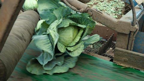 Freshly cut cabbage moves along a conveyor belt Filmmaterial