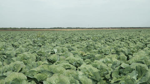 Freshly growing green cabbage field Footage