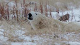 Polar bear lying on the snow and feeding Footage