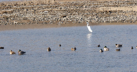 Crowned Crane flock in the river of korea with ducks swinmming Footage